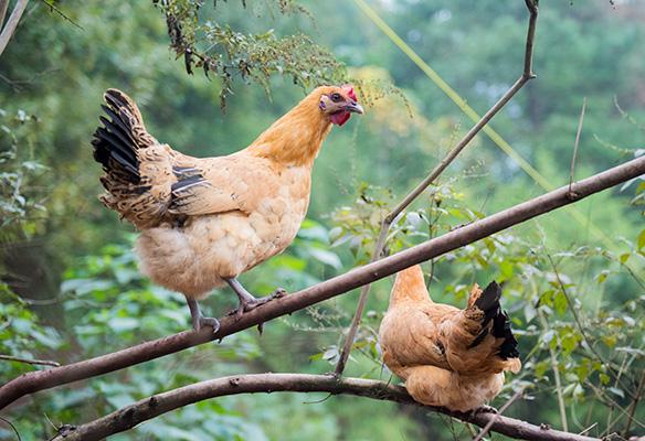 鸡滑液囊支原体病的流行与防控