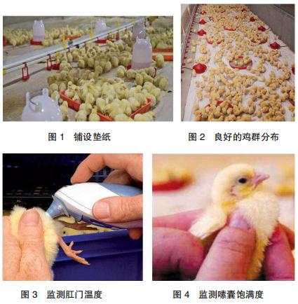 现代肉种母鸡均匀度的调控