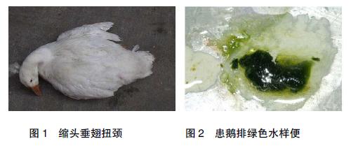 鹅副黏病毒病的防制
