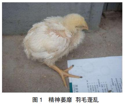 肉鸡传染性法氏囊病的防治