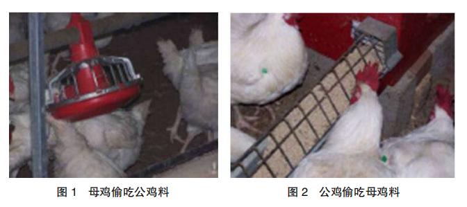 现代肉种公鸡40周后的管理重点