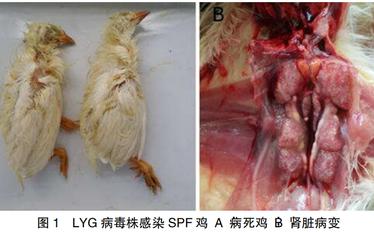 1株台湾型鸡传染性支气管炎病毒的分离与初步鉴定