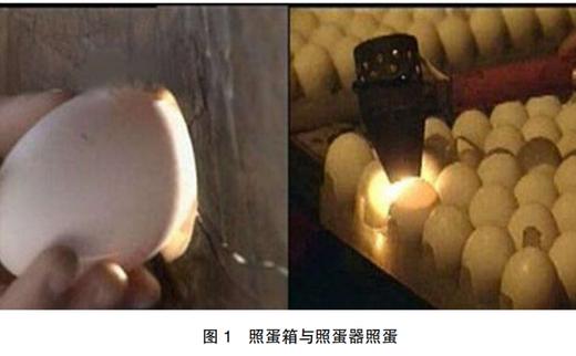 鹅种蛋孵化效果的检查