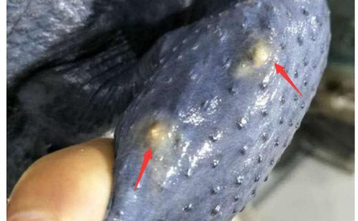 放养肉鸡新勋恙螨病及其防控技术